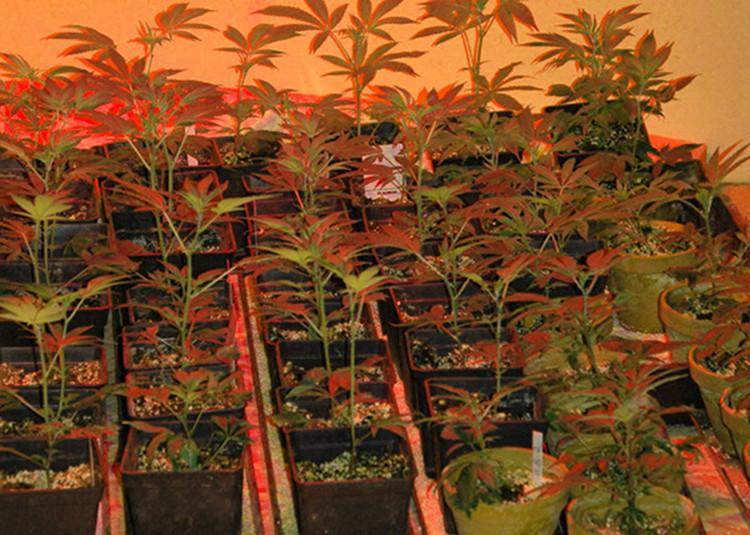 Cannabis-Plantage. Bild: Polizei Nienburg/Schaumburg