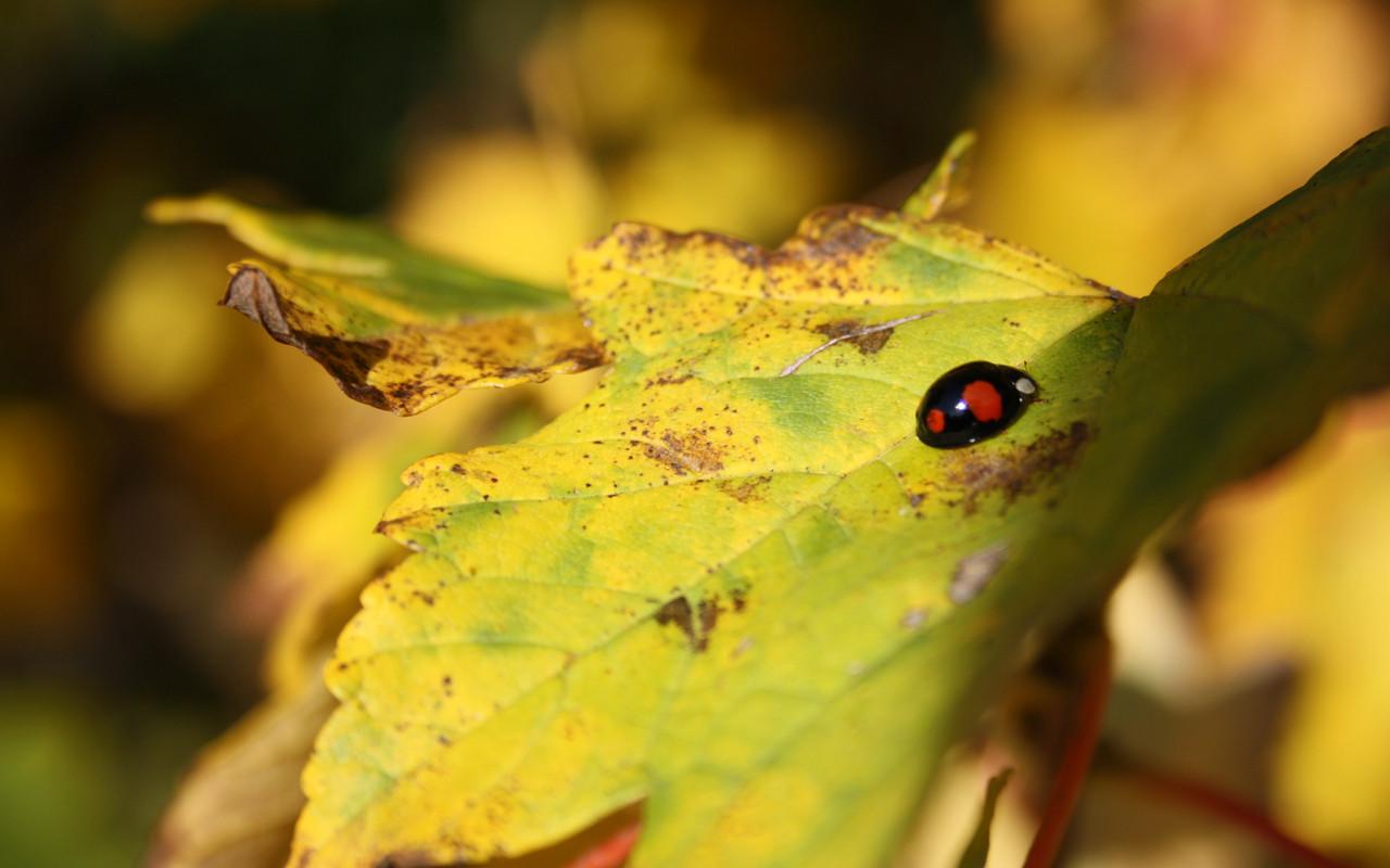 Ein Zweipunkt-Marienkäfer sonnt sich im goldenen Wunstorfer Herbst. Dieses Exemplar gehört zu den selteneren Exemplaren seiner Gattung, bei denen die Farben Rot und Schwarz vertauscht sind. Nur etwa 15 Prozent dieser Marienkäferart haben diese Farbgebung, kommen gerade im Herbst aber häufiger vor. Interessant: bis zu 90 Prozent der Zweipunkt-Marienkäfer sind weiblich. | Foto: Daniel Schneider