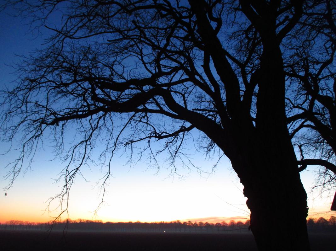 Winterlich-intensives Farbenspiel: Eine Eiche steht vor klarem Himmel in der Abendkälte am Rande von Wunstorf, im Hintergrund ihre Kollegen der Allee zum Rittergut Düendorf. Zwischen den Bäumen sammelt sich der Bodennebel, ihre entlaubten Kronen scheinen die letzten Sonnenstrahlen regelrecht einzufangen. Eichen sind nach den Buchen die am häufigsten vorkommende Baumart in Deutschland. In der inoffiziellen niedersächsischen Hymne, dem Niedersachsenlied, werden sie besungen. | Foto: Daniel Schneider