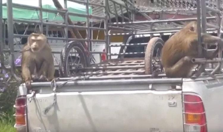 Motorisierte Affen