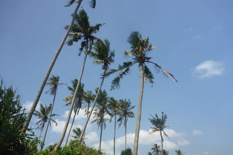 Palmen auf Bali