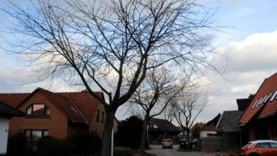 Bild von Alte Wunstorfer Bäume werden gefällt