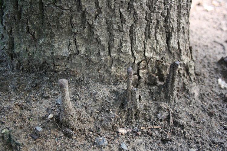 Historische Spuren an der Magnuseiche
