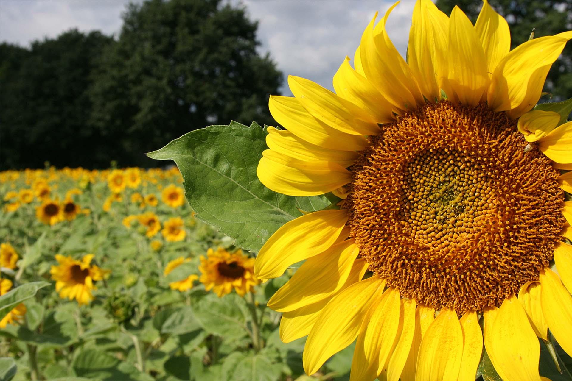 """""""Sonnenblumen"""" von Florian Hake"""