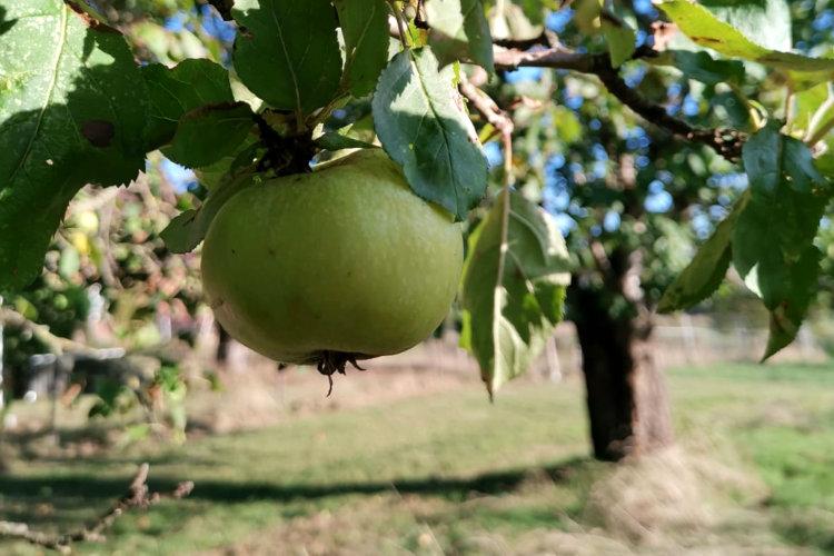 Apfelbaum in Wunstorf