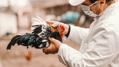 Bild von Steinhuder Meer wird Vogelgrippe-Risikogebiet